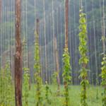 elav-coltivazione-luppolo